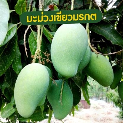 Picture of Green Mango 10 kg. Kiew Morakot mango  Export Grade (Pre-Order)