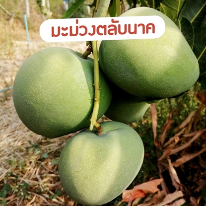 Picture of Green Mango 10 kg. Talab Nak  Mango  Export Quality (Pre-Order)